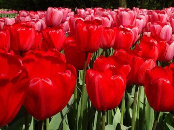 Stralende tulpen von Ronald Wakker