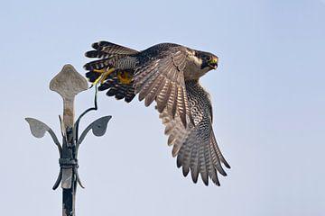 Wanderfalke ( Falco peregrinus ), Altvogel im Flug, beim Abflug von einer Kirchturmspitz, Kirchenkre van wunderbare Erde