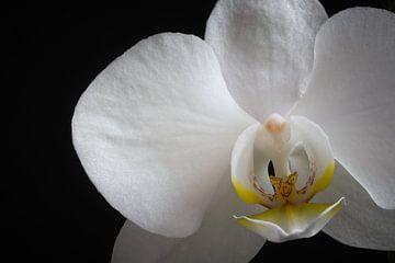 Phalaenopsis van Thomas van de Vosse
