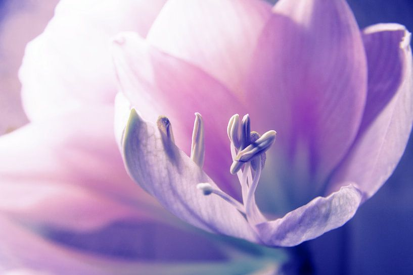 Soft Beauty Amarillys van Die Farbenfluesterin