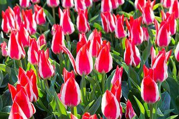 Feld von rot mit weißen farbigen Tulpen im Keukenhof  Holland  Niederlande sur Ben Schonewille
