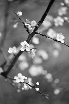 Blüte von Dianne van der Velden