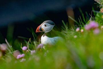 Papageientaucher im Gras von Merijn Loch