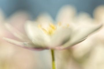 Romantisches Bild der Bosun-Anemone, Foto 7 von Caroline van der Vecht