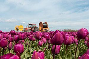 Schöne Tulpenfelder von Kelly Sabrina