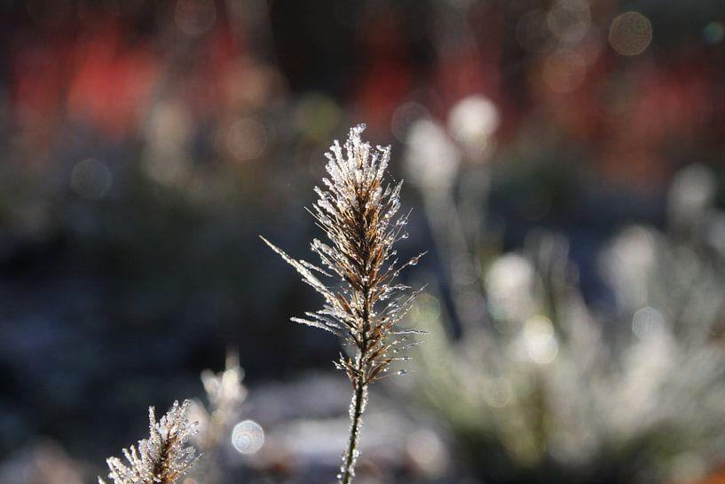 De bevroren bloem van Lucas van Gemert