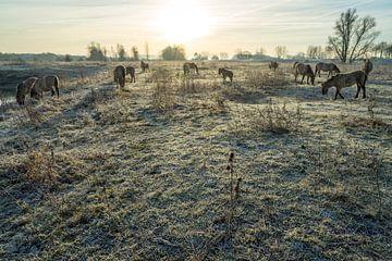 Kudde konik-paarden in winterland van