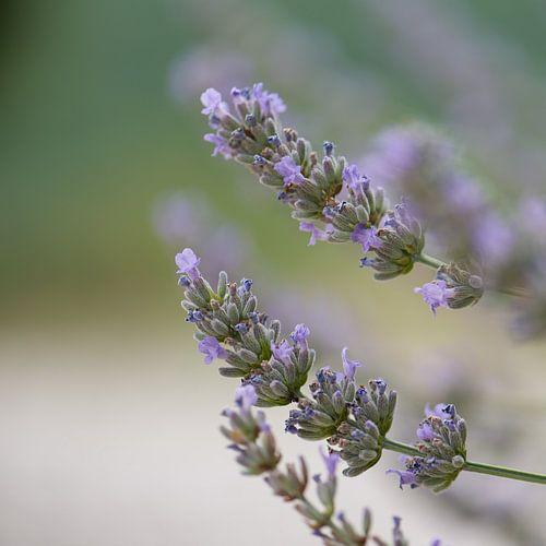 Lavendel in Ardeche