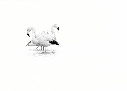 Flamingo in zwart wit van