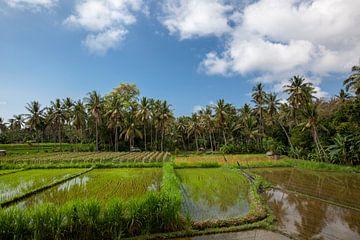 Die Sonne geht über den grünen Feldern der Reisfelder von Tegalalalang im Herzen von Bali, Indonesie von Tjeerd Kruse