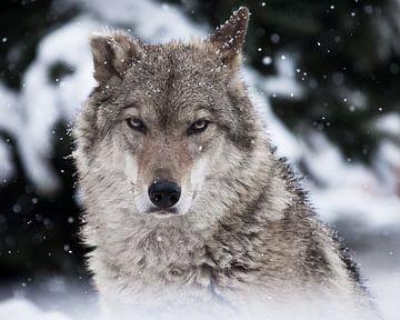 Porträt eines Wolfes (weiblicher Wolf) Nahaufnahme des Kopfes des Tieres mit einem strengen Blick mi von Michael Semenov