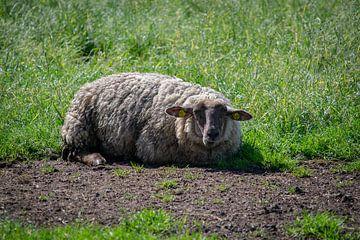Das schlafende Schaf von Jesse Lamberink
