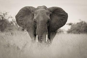 olifant in kruger park zuid afrika van Ed Dorrestein