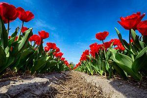 Flowerbulbs - Red Tulips sur Manuel Speksnijder