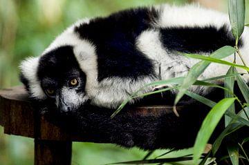 Vari : Tierpark Amersfoort von Loek Lobel