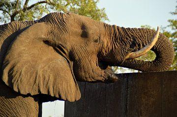 Close up drinkende Afrikaanse olifant, Kruger park, Zuid Afrika van Vera Boels