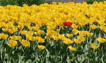 Gele tulpen van Erik Reijnders