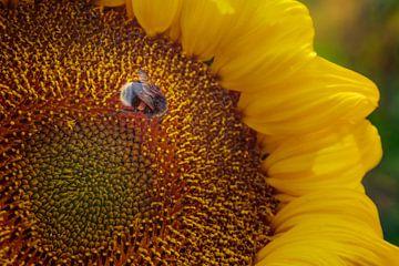 Zonnige bloem van