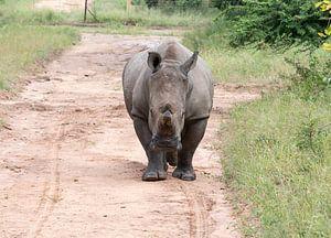 een rhino komt achter de auto aan tijdens een safari