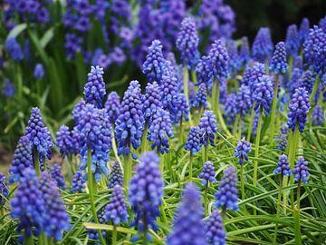 Blauwe druifjes van Anne de Brouwer