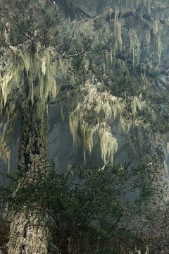 Gran Canaria mistige bossen in bergen met spaansmos door zeemist nr. 1 van Marianne van der Zee