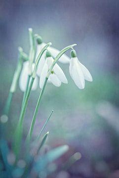 Hoffnungsvolles Licht der Schneeglöckchen von Arja Schrijver Fotografie