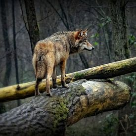 Wolf op een mistige en regenachtige dag van Margaretha Gerritsen