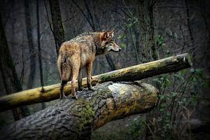 Wolf op een mistige en regenachtige dag van