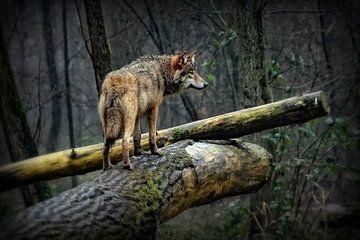 Wolf op een mistige en regenachtige dag von