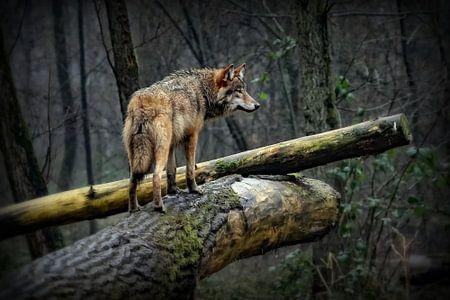 Wolf op een mistige en regenachtige dag