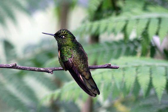 Kolibrie van Antwan Janssen