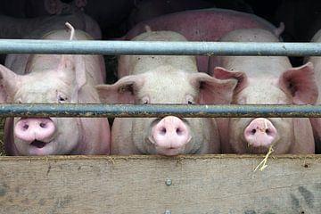 Drie varkens in de schuur van Anja Uhlemeyer-Wrona