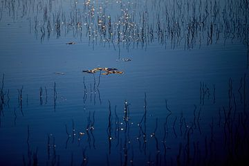 Lilie im Wasser von Sam Mannaerts