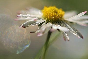 Marguerite en fleur sur Marjo Snellenburg