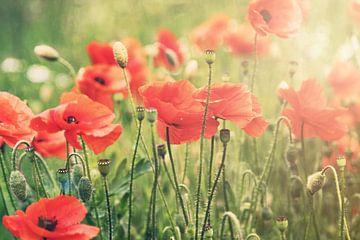 Poppies, Mohnblumen III von