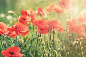 Poppies, Mohnblumen III von Christa van Gend