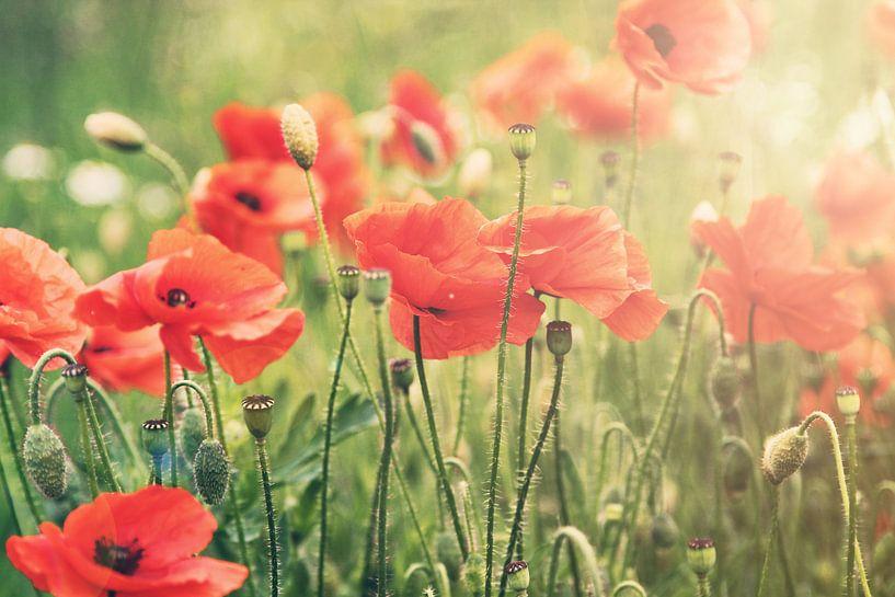 Poppies III van Christa van Gend