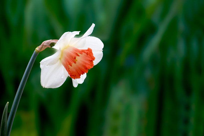 Narcis von Henk Langerak