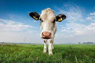 Nieuwsgierige koeien in de ochtend van dichtbij van Marcel Bakker