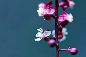 Paarse plant met witte bloemen