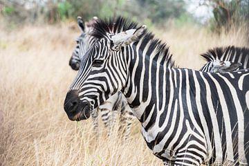 Uganda Zebra von