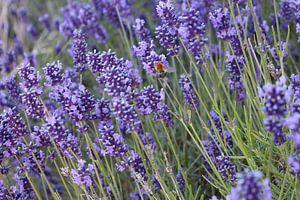 Bei Op Lavender