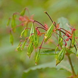 Les fruits d'un Balsamine de l'Himalaya sur Kristof Lauwers