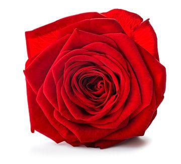 rode roos op een witte achtergrond van Giovanni de Deugd