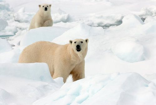 IJsbeer met jong in de sneeuw van AGAMI Photo Agency