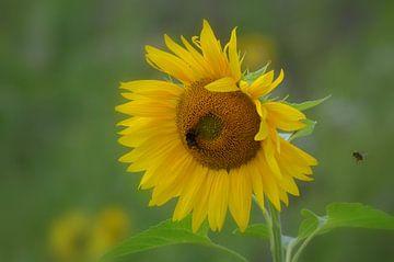Sonnenblume Sonnenblume von Joyce Derksen