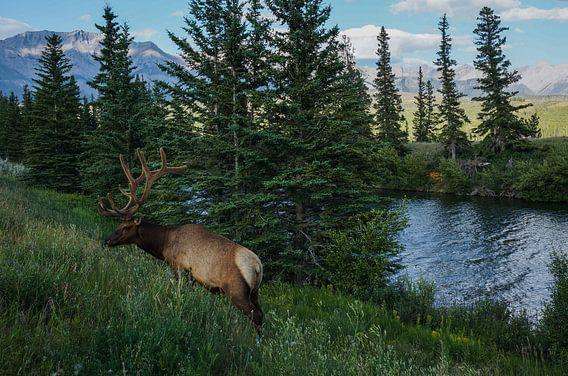 Een hert langs Icefields parkway - Canada van Joris Pannemans - Loris Photography
