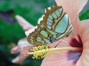 Tropische Vlinder, Tropical Butterfly (Siproeta Stelenes) Collectie 2018 van