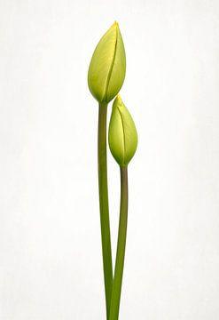 Tulip Time, Lotte Grønkjær van 1x