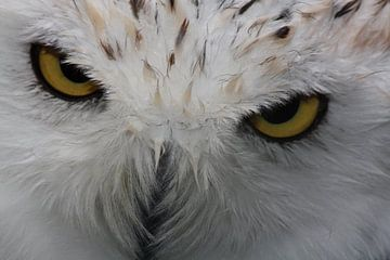 Snowy white Owl sur Gert Hilbink
